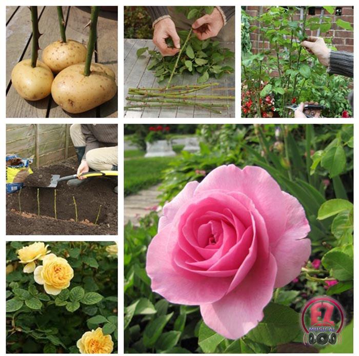 گل رز و سیب زمینی 2 رشد دادن گل های رز از قلمه