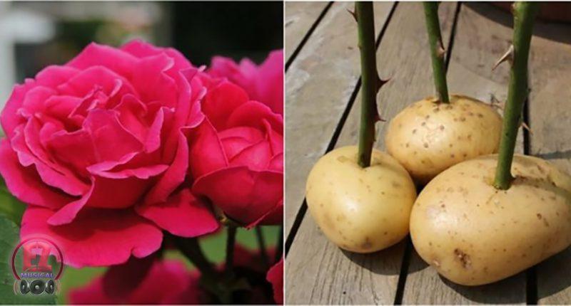 رشد دادن گل های رز از قلمه
